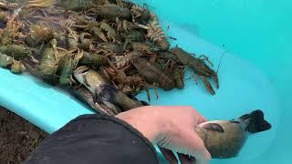 Разведение раков. Окончание передержки. Запуск рыбы в пруд.