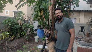 Most obedient German Shepherd  dog   smart dog   dog training routine   friendly german sheferd  