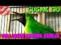 Cucak Ijo Full Tembakan Burung Gereja  Cucak Ijo Lain Emosi Mendengar Suaranya Part   Mp3 - Mp4 Download