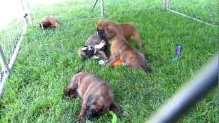 German Boxer Puppies' Playtime!