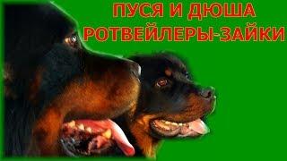ДВА РОТВЕЙЛЕРА-ЗАЙКИ.воспитание и дрессировка собаки.