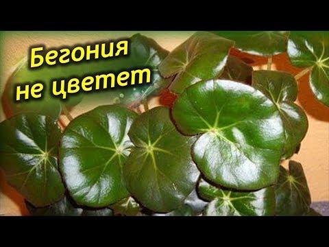 Почему не цветет Бегония? Цветущая Бегония выпускает только листья, почему?