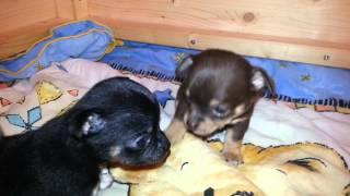 Chihuahua Welpen - 4 Wochen Alt
