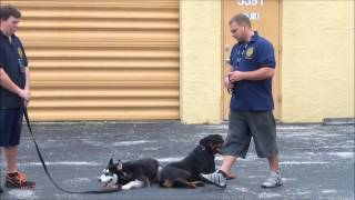 Dog Training In Sunrise Florida - Rambo The Rottweiler- K9 Enforcement Training