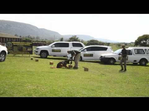 EDD Explosive Detection Dog Flint V3  Zanmarheim K9 and Security
