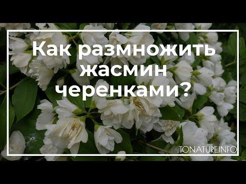 Как размножить жасмин черенками? | ToNature.Info