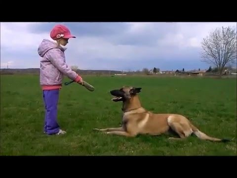 highclass-k9-family-protection-belgian-malinois
