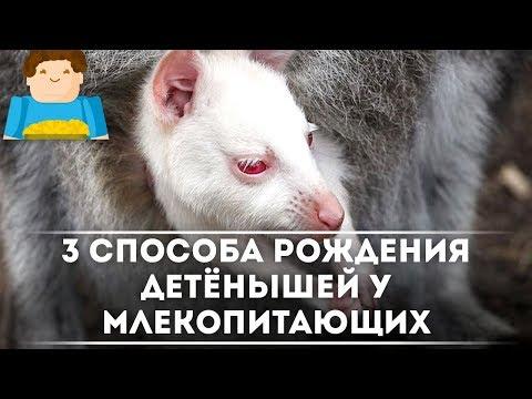 3 способа рождения детёнышей у млекопитающих [Plushkin]