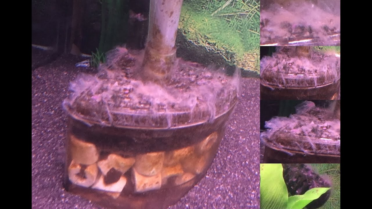 weird fungus white stuff growing in my aquarium fish tank