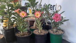 Como Fazer Sua Rosa do Deserto Florir em 30 Dias