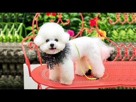Cutest Bichon Frise Puppy Video Compilation