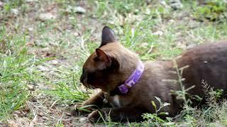 Top 10 Brown Cat  Breeds | Cute  Brown Cats