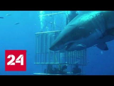 Акулы все чаще заплывают в Россию - Россия 24