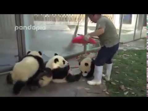 Приколы с пандами – видео с пандами смотреть в хорошем