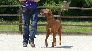 Bronson - Rhodesian Ridgeback - 2 Week Residential Dog Training At Adolescent Dogs