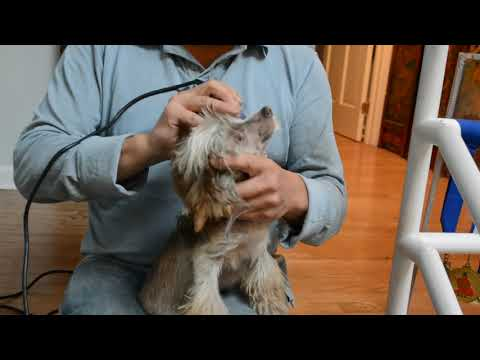 Hairy hairless Chinese Crested face grooming 8 10 17 1of5