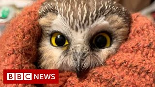 Rockefeller Christmas tree owl released into the wild - BBC News