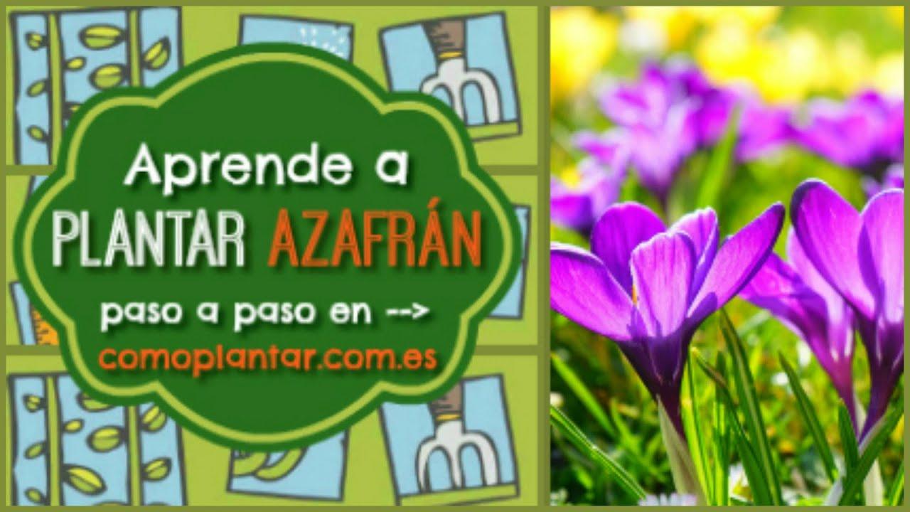 Como Plantar Azafran Youtube - Cultivo-azafran