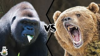 GRIZZLY BEAR VS WESTERN GORILLA  Who would win a fight?