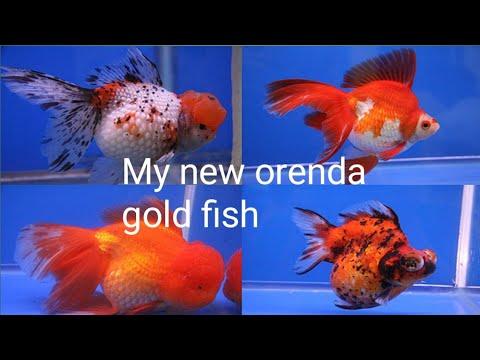 My New Orenda Gold Fish