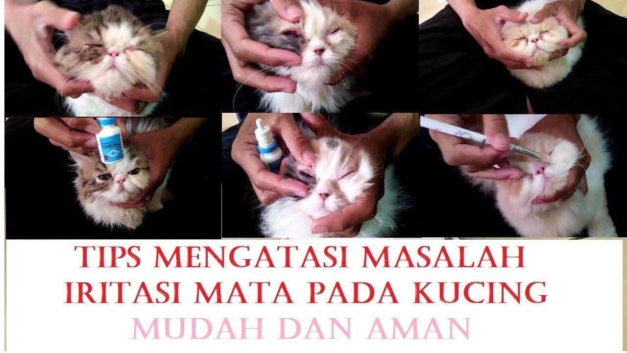 Cara membersihkan mata kucing persia | TIPS mengobati ...