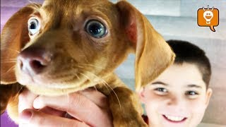 Chiweenie Puppy! HobbyFamily Gets a NEW PET