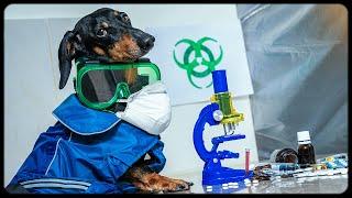 World Hysteria China s coronavirus Cute funny dachshund dog video