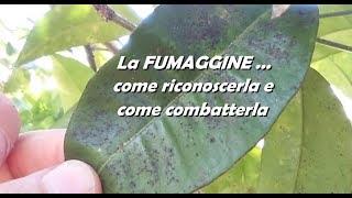 Download lagu LA FUMAGGINE come riconoscerla e come combatterla