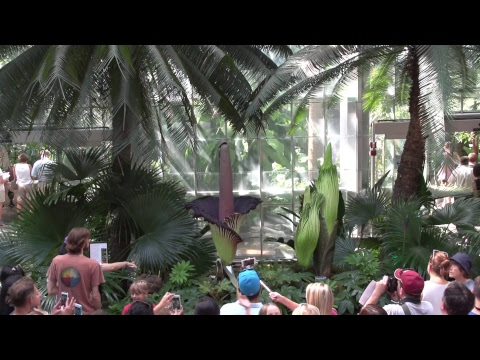 Archive: Corpse Flower at United States Botanic Garden