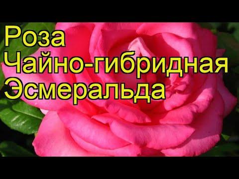 Роза чайно-гибридная Эсмеральда. Краткий обзор, описание характеристик, где купить саженцы Esmeralda