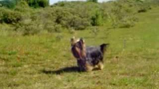 Yorkshire Terrier - Walking In The Dunes