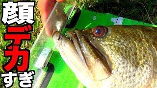 顔でかい魚の60cm級(ロクマル)は本当にヤバイ!
