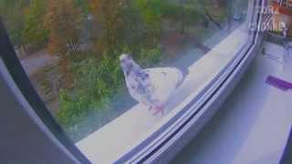 Голубь прилетел на окно #2