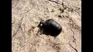 видео Короткокрылая