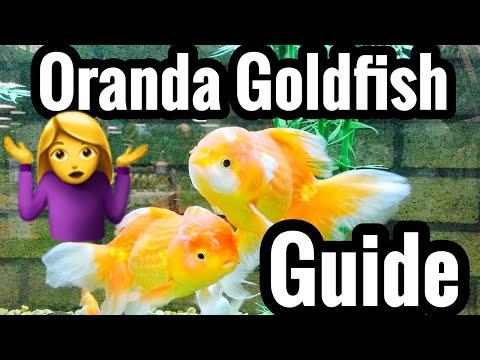 Oranda Goldfish Tank Care & Growth Guide