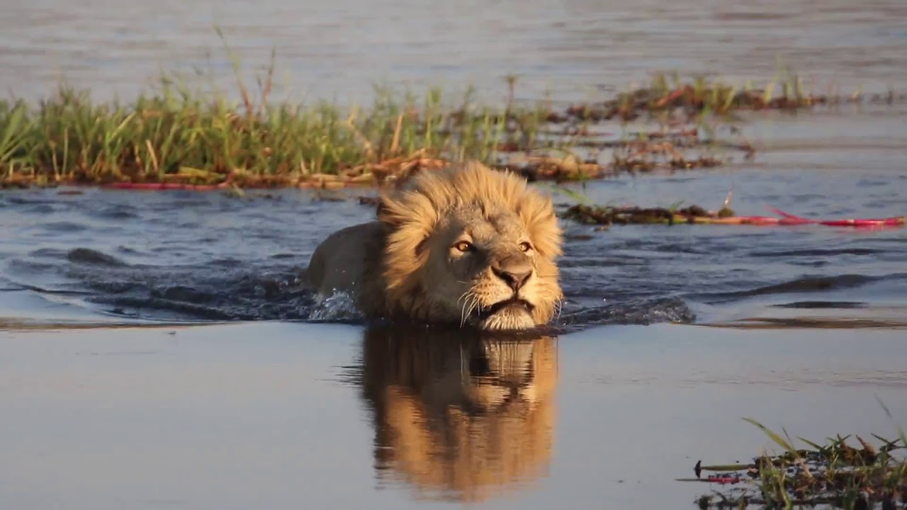 Lion Crossing River