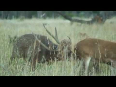 Rusa stags of North Queensland - Part 1