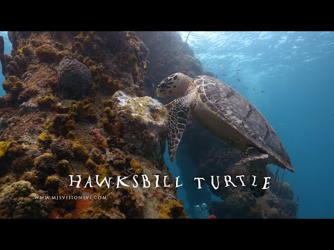 Fun Facts About The Hawksbill Sea Turtle