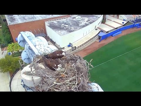 University of FL ospreys 3 14 17 they have 2 eggs