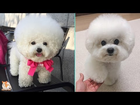 Bichon Frise - Funny and Cute Moments  - CuteVN