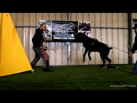 Cane Corso Bite Work - Dog Sport/IPO - Cali K9® Dog Training - San Jose