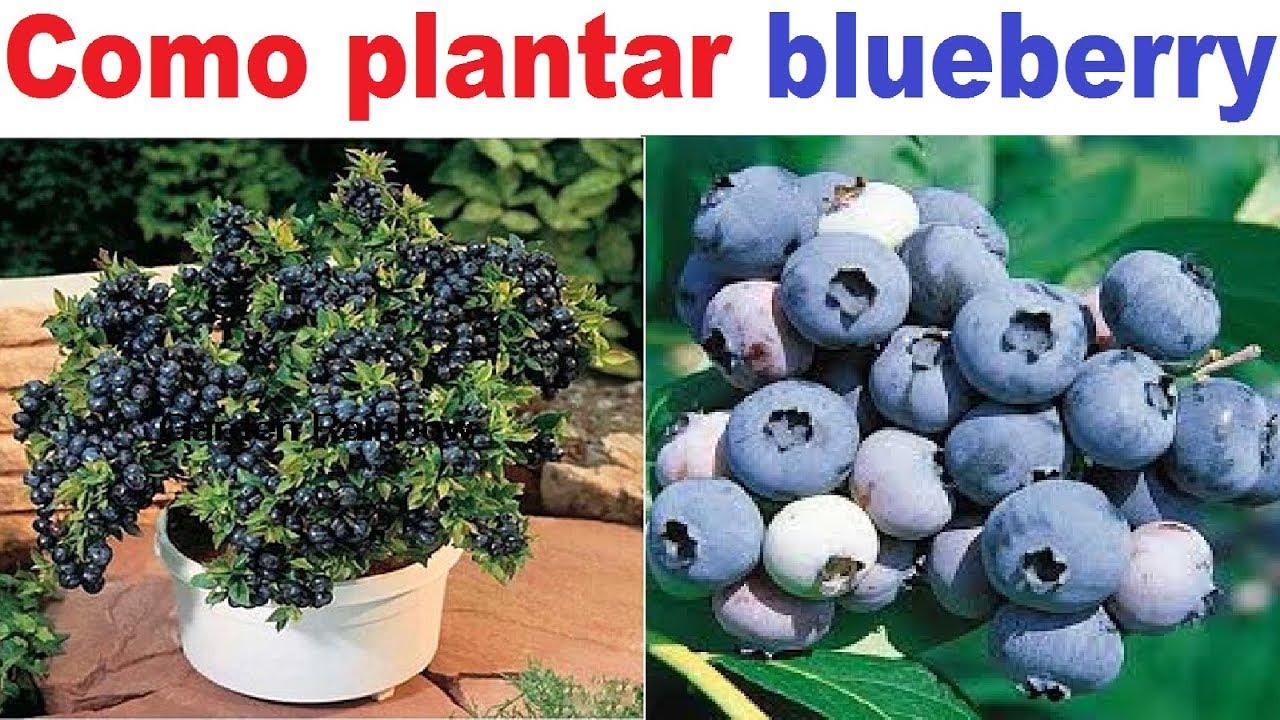 Download Como Plantar BlueBerry ou Mirtilo (Guia Completo)