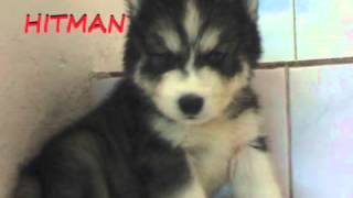 Anjing Dijual Siberian Husky