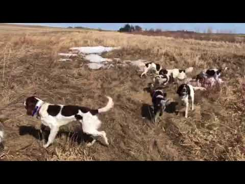 Minnesota's French Spaniels Out For A Run