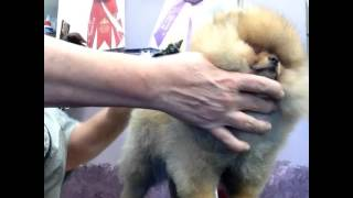 Pomeranian Puppy Show Training