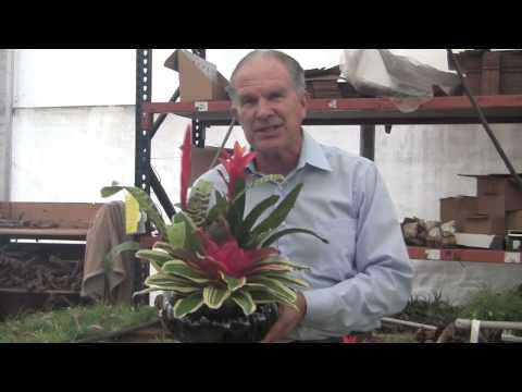 Barry Landau's Tropical Planet - Bromeliad Growing At Rainforest Flora