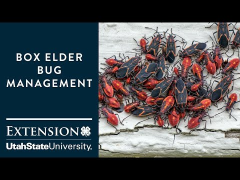 How to Handle Boxelder Bugs
