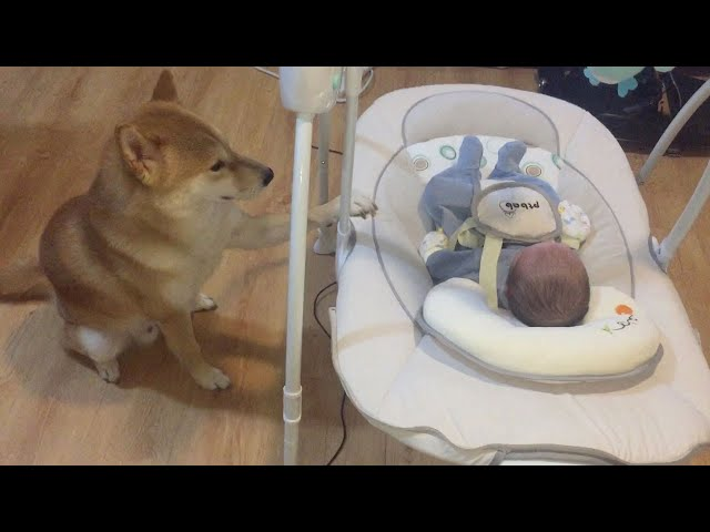 Shiba Inu Helps Rock Baby To Sleep