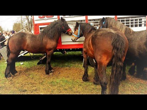 Sajam  konja- Cetingrad  2017g. ( Fair  horse )