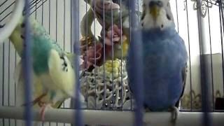 Обязательно смотреть! Волнистые попугаи!